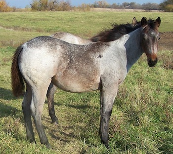 2013 Bay Roan Filly by Blue Max Hancock